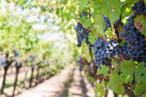 Carbs in grapes keto fruits